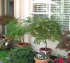 Entry Garden Japanese Maples