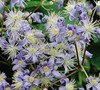 Clematis Mrs Robert Brydon Picture