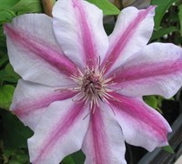 Candy Stripe Clematis Picture