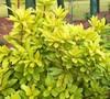 Florida Sunshine Yellow Anise
