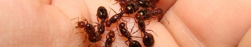 How To Kill Fireants With Grits