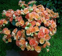 Rieger Begonia Picture
