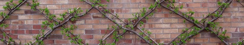 How to Espalier Plants and Vines