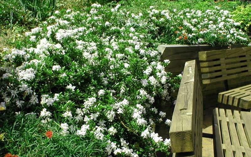 Creeping Gardenia Picture