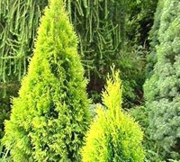 Highlights™ Arborvitae 'Janed Gold' Picture