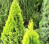 Highlights™ Arborvitae 'Janed Gold'