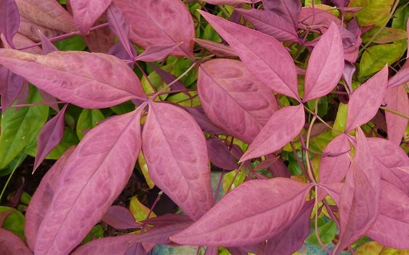 Blush Pink Nandina Picture