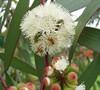'Bonza' Snow Gum Eucalyptus