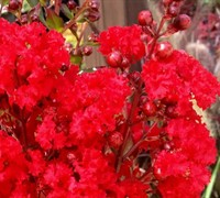 Enduring Summer™ Red Crapemyrtle Picture