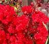 Enduring Summer™ Red Crapemyrtle