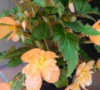 Lucky Strike Begonia Picture