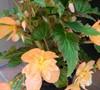 Lucky Strike Begonia