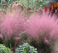 Muhly Grass Picture