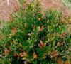 Coppertone™ Dystilium