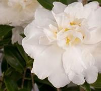 Diana™ Camellia Sasanqua Picture