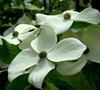 Empress Of China Dogwood Picture