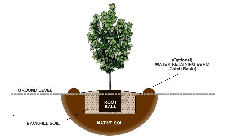 How to plant a dogwood tree - Fir tree planting instructions a vigorous garden ...