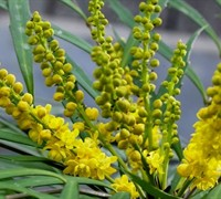Soft Caress Mahonia Picture