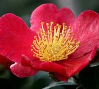 Yuletide Camellia Picture