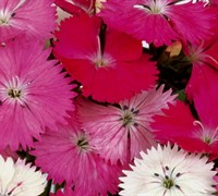 Diamond Series Dianthus Picture