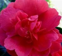 Rose October Magic Camellia Picture