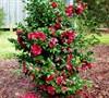 Rose October Magic Camellia