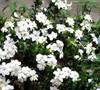 Scentsation Gardenia