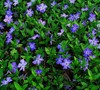 Bowles Vinca Minor