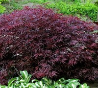 Red Dragon Japanese Maple Picture