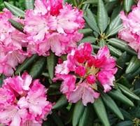 Southgate Brandi Rhododendron Picture