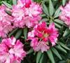 Southgate Brandi Rhododendron