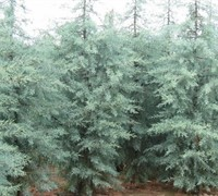 Blue Ice Cypress Picture
