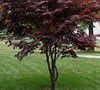Hefners Red Japanese Maple