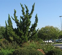 Hollywood Juniper Picture