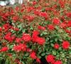 Sunrosa Red Rose