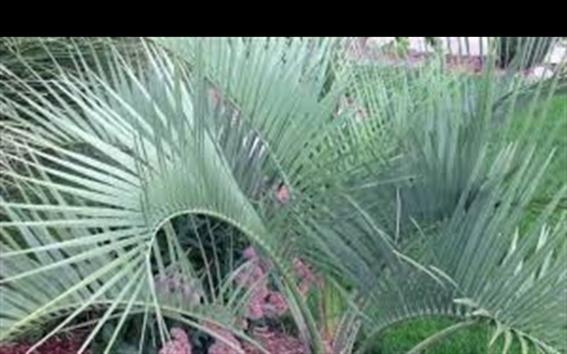 Pindo Palm Picture