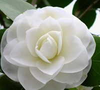 Morning Glow Camellia Japonica Picture