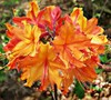 Dons Variegated Rhododendron Picture