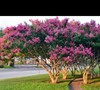 Picture about Magnolia Tree