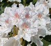 Southgate Charm Rhododendron