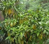 Acuba yellow leaves