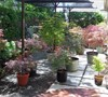 Japanese Maple garden 2012