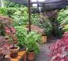 Japanese Maple garden 2013