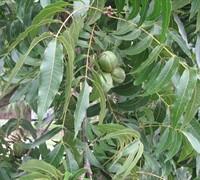 Moreland - Pecan Picture
