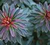 Euphorbia  Red Velvet  Ppaf - Spurge
