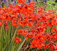 Crocosmia X Crocosmiliflora  Twilight Fairy Tm Crimson Picture
