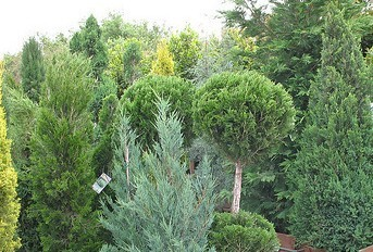 Assorted junipers