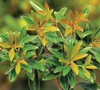 Bronze Beauty Cleyera Picture