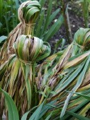 Daffodils tied