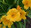 Evergreen Stella Daylily